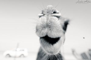 camel in black and white.jpg